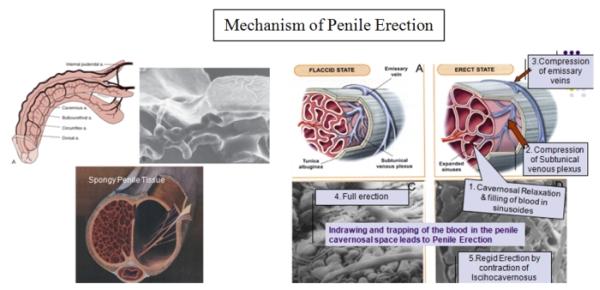 Penile erection